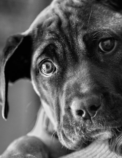 Black and White picture of Mastiff puppy resting on the shoulder of her owner, looking at camera