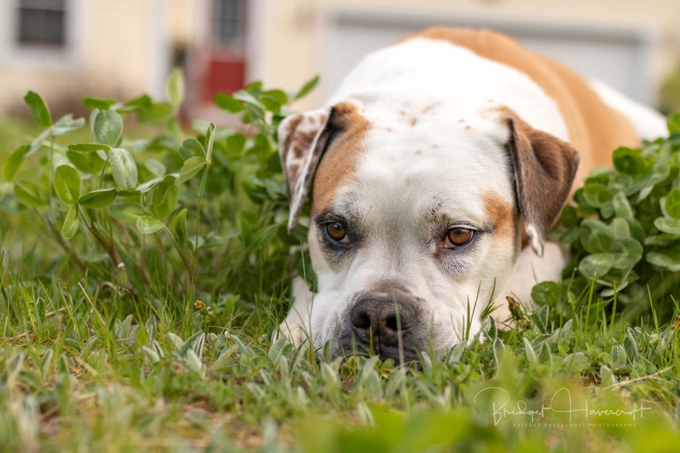 A Valley Bulldog lying down in the grass with his head resting on his paws, bulldog, valley bulldog, dog, animal, pet, pet photography,