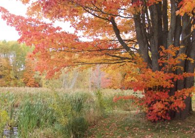 Red and orange leaves on a big tree by the water with bullrushes