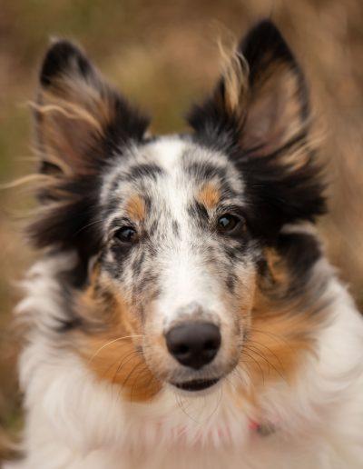 Australian Shepard, puppy, pet photography