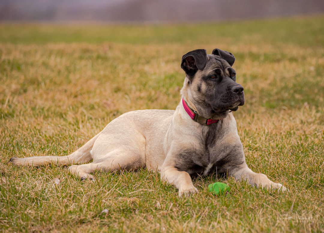 Our latest puppy called Willow, Mastiff Puppy. dog, pet, pet photography