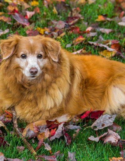 Nova Scotia Duck Toller, puppy, dog, pet photography